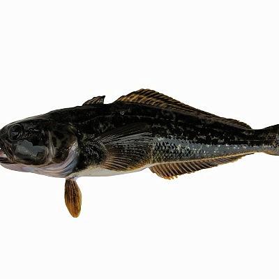 דג קוד שחור