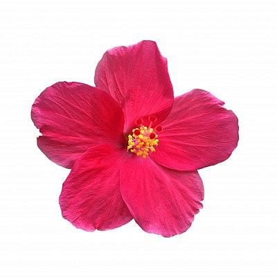 פרחי היביסקוס