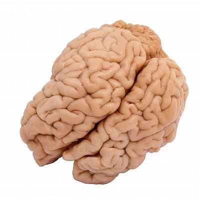 מוח טלה
