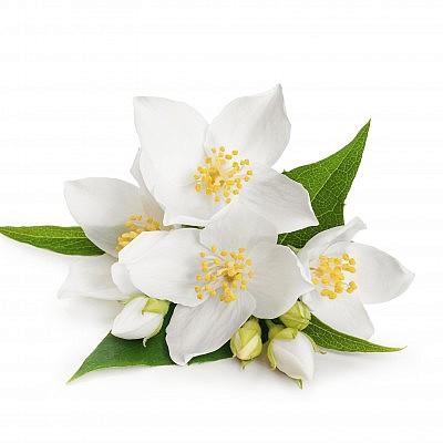 פרחי יסמין